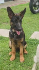 German shepherd for sale.