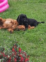 Cocker Spaniel puppies [sold].