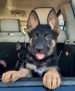 I.K.C. reg. German shepherd pups for sale.