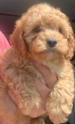 Cavapoo puppies in Cork for sale.