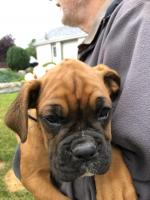 Coby (Sir Lance) IKC Boxer puppy for sale.