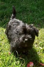 Scottese (Scottish x Maltese) puppies for sale.