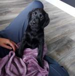 Black purebred Labrador for sale.
