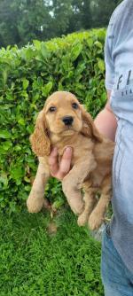 Cocker spaniel golden puppies for sale.