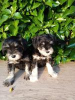 Miniature schnauzer pups for sale.