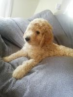 Goldendoodles pups for sale.