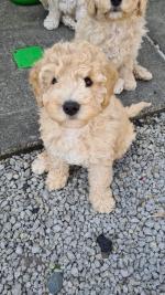 Cavapoochon pups for sale.