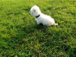 Male Bichon Frise in Galway for sale.