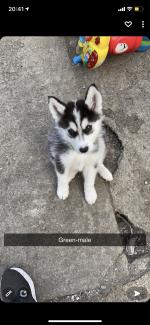 Husky pups for sale.