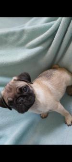 IKC registered Pugs in Dublin for sale.