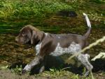 Pointer pups for sale.
