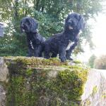 Sproodle pups in Cork for sale.