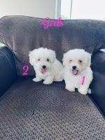 IKC Bichon frise puppies for sale.