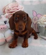 IKC Miniature dachshund for sale.