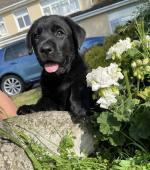 IKC registered Labrador puppies for sale.