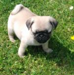 IKC Pug pups for sale.