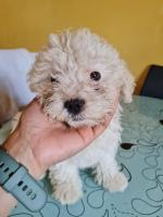 Buddy,Rocky and Buster Shih Tzu x puppies for sale.