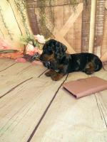 Miniature Dachshund for sale.