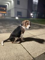 Beagle male puppy for sale.
