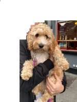 Beautiful, Fully Trained Female Cavapoo Pup for sale.