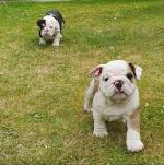 IKC British Bulldog puppies for sale.