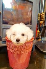 Bichon Frise Puppies for sale.