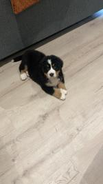 IKC Bernese Mountain Dog for sale.