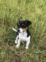 Miniature jack Russell for sale.