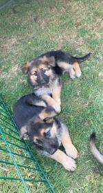 German Shepard puppies for sale.
