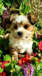 BIEWER X MALTESE puppy for sale.