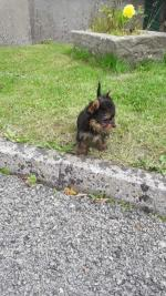 Tea cup Yorkshire terrier for sale.