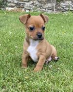 Chihuahua puppy female for sale.