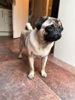 Billy Pug in Kildare for sale.