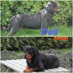 Rottweiler Pups for sale.