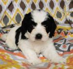 Spaniel x Maltese for sale.