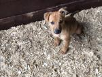 jack russell in Kerry for sale.