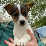 Miniature Jack Russell Puppies for sale.