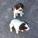 Layla/Abby the Springer Spaniel for sale.