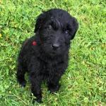 Labradoodle pups for sale.