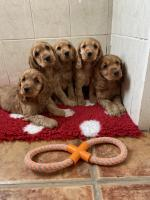 Female €900 Male €650 for sale.