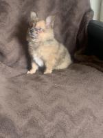Pomeranian male puppy for sale.