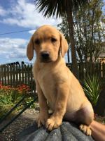 Golden Labrador Female Pups for sale.