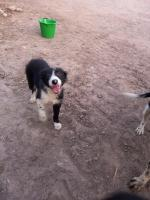 Sheepdog puppies for sale.