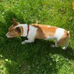 Leo (Jack Russel) for sale.