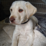 IKC Labrador puppies for sale.