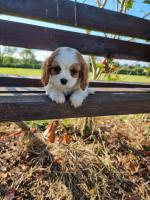 Cavalier King Charles Spaniel puppies for sale.