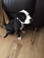 Terrier puppy [sold].