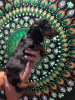 Silver dapple mini dachshund for sale.