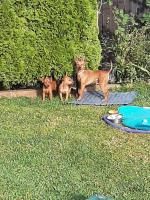 Miniature Pincher puppies in Wexford for sale.