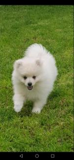 Male Pomeranian puppy in Waterford for sale.